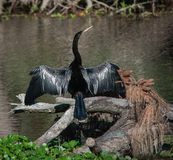 Sunning Anhinga Royalty Free Stock Photography