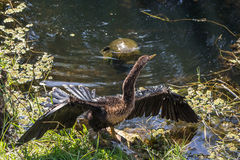 Anhinga suns itself Royalty Free Stock Photography