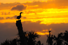 Anhinga Sunset 3 Stock Photo