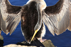 Anhinga svart Swan Lake i Perth, Australien Royaltyfri Fotografi