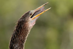 Anhinga swallowing fish Royalty Free Stock Photo
