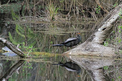 Anhinga in the Swamp Royalty Free Stock Images