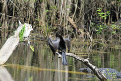 Anhinga in the Swamp Stock Photo