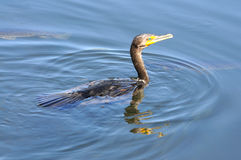 Anhinga swimming along water Royalty Free Stock Photo