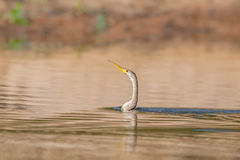 Anhinga swimming Royalty Free Stock Photography