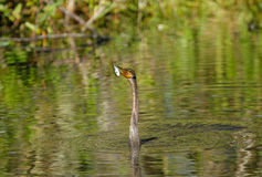 Anhinga swimming Stock Photography