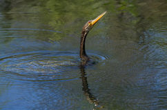 Anhinga swimming Stock Images