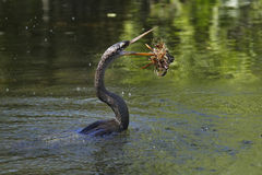 Anhinga swimming in a water Royalty Free Stock Images