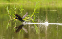 Anhinga taking off with a fish in its mouth Royalty Free Stock Image