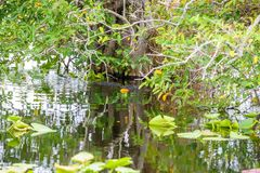 Anhinga Trail of the Everglades National Park. Boardwalks in the swamp. Florida, USA royalty free stock image
