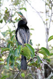 Anhinga on tree stock images