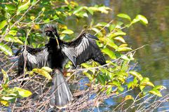 Anhinga in tree Royalty Free Stock Images
