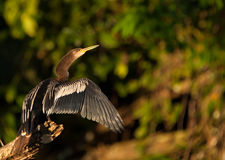 Anhinga trocknendes it´s Gefieder Stockfoto