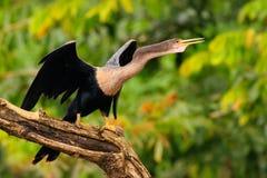 Anhinga, uccello acquatico nell'habitat della natura del fiume Uccello acquatico da Costa Rica Animale nell'acqua Uccello con il  fotografie stock