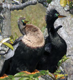 Anhinga-Vögel Stockfoto