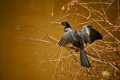 Anhinga van Anhinga Anhinga het drogen weg in de zon Het wildsce Royalty-vrije Stock Foto's