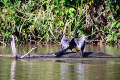 Anhinga Stock Photos