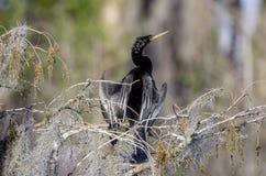 Anhinga Wężowy męski lęgowy upierzenie, Okefenokee bagna obywatela rezerwat dzikiej przyrody Zdjęcia Stock