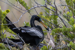 Anhinga w gniazdeczku z nieletni, błota parki narodowi, Floryda obraz stock