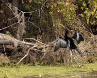 Anhinga spreading its wings. This anhinga was spreading its wings in Lettuce Lake Park, Florida royalty free stock images