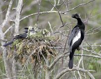 Anhinga near a nest royalty free stock images