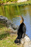 Anhinga By the Water Royalty Free Stock Photos