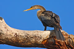 Anhinga, water bird in the river nature habitat. Water bird from Costa Rica. Animal in the water. Bird with log neck and bill. Her Royalty Free Stock Photos