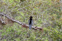 Anhinga or Water Turkey on a Limb Royalty Free Stock Images