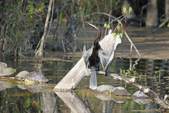Anhinga or Water Turkey on a Limb Stock Images