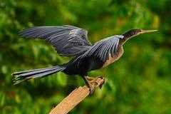 Anhinga, watervogel in de habitat van de rivieraard Watervogel van Costa Rica Anhinga in het water Vogel met logboekhals en reken royalty-vrije stock foto