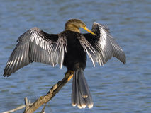 Anhinga Wings. An Anhinga drying and preening in the sun Royalty Free Stock Photos