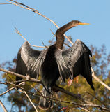 Anhinga with Wings Spread. An Anhinga dries it`s wings in the sun`s warming light along the Silver Spring River near Ocala, Florida Royalty Free Stock Image