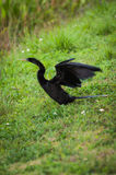 Anhinga with wings spread for drying Royalty Free Stock Photo