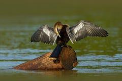 Anhinga, wodny ptak w rzecznym natury siedlisku Wodny ptak od Costa Rica Czapla w wodzie Ptak z bela rachunkiem i szyją Anhi Zdjęcie Stock