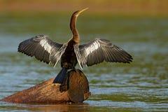 Anhinga, wodny ptak w rzecznym natury siedlisku Wodny ptak od Costa Rica Czapla w wodzie Ptak z bela rachunkiem i szyją Anhi Zdjęcie Royalty Free