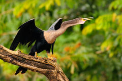 Anhinga, wodny ptak w rzecznym natury siedlisku Wodny ptak od Costa Rica Zwierzę w wodzie Ptak z bela rachunkiem i szyją ona Zdjęcia Stock