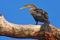 Anhinga, wodny ptak w rzecznym natury siedlisku Wodny ptak od Costa Rica Zwierzę w wodzie Ptak z bela rachunkiem i szyją ona Zdjęcia Royalty Free