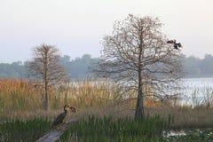 Anhinga z Wielkim rondem przy jezioro krawędzią Jako słońce wzrosty Zdjęcia Royalty Free