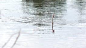 Anhingaen simmar med en fisk lager videofilmer