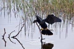 anhingafågel royaltyfri fotografi