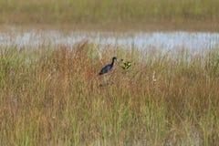 Anhingafågel i evergladesna Fotografering för Bildbyråer