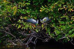 Anhingafågel med vingspridning Arkivbild