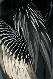 anhingafjädrar Arkivfoton