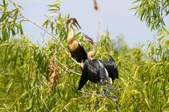 Anhingas in the Everglades Royalty Free Stock Images