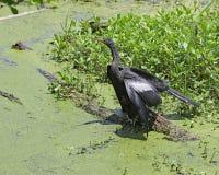 Anhinga hunting in a marsh stock photos