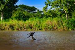 Anhingas no habitat do rio Anhinga, pássaro de água na natureza da água Animal da água de Costa Rica Garça-real no vegetatio verd foto de stock