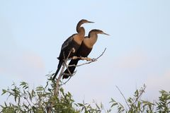Anhingas On A Perch Royalty Free Stock Photos