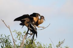 Anhingas On A Perch Stock Photos