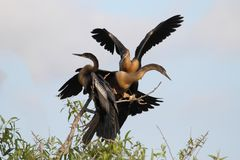 Anhingas On A Perch Stock Image