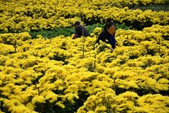 ANHUI PROVINCE, CHINA – CIRCA OCTOBER 2017: The pickers of yellow chrysanthemum flowers. Chrysanthemum field in Anhui province in China stock photo